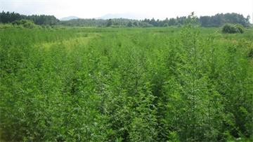 青蒿草种植基地